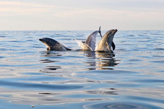 San Diego La Jolla dolphin